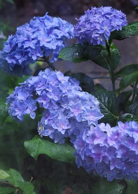 梅雨入り ~紫陽花~_c0188784_18333905.jpg