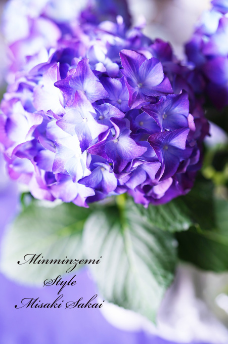 梅雨入り ~紫陽花~_c0188784_18580713.jpg