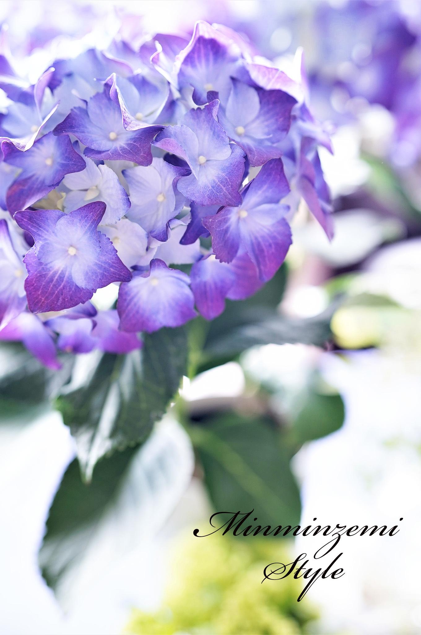 梅雨入り ~紫陽花~_c0188784_19153315.jpg