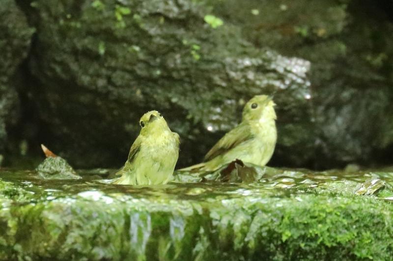 野鳥の水浴びシリーズ。第2弾は、キビタキのメスです_b0291402_20274876.jpg