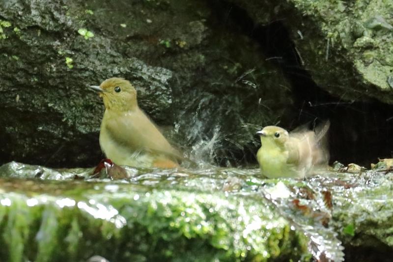 野鳥の水浴びシリーズ。第2弾は、キビタキのメスです_b0291402_20275190.jpg