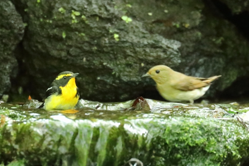 野鳥の水浴びシリーズ。第2弾は、キビタキのメスです_b0291402_20275415.jpg