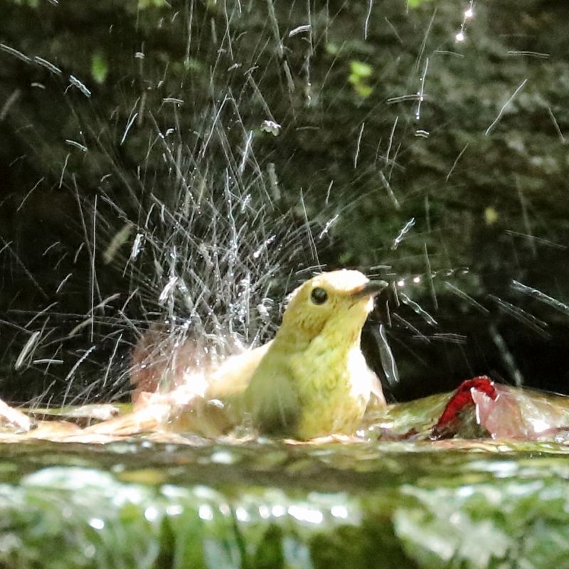 野鳥の水浴びシリーズ。第2弾は、キビタキのメスです_b0291402_20275948.jpg