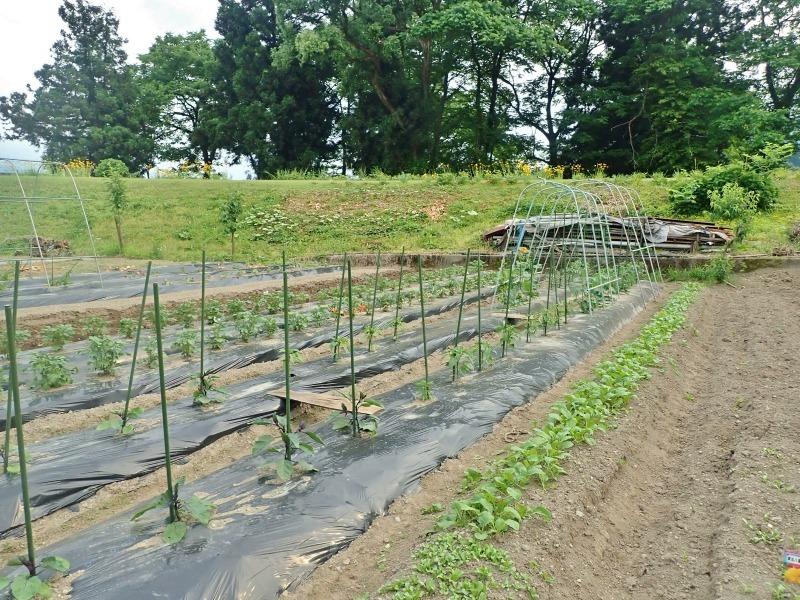 週末の兼業農家は「家庭菜園」のネット掛けなど・・・_c0336902_18140563.jpg