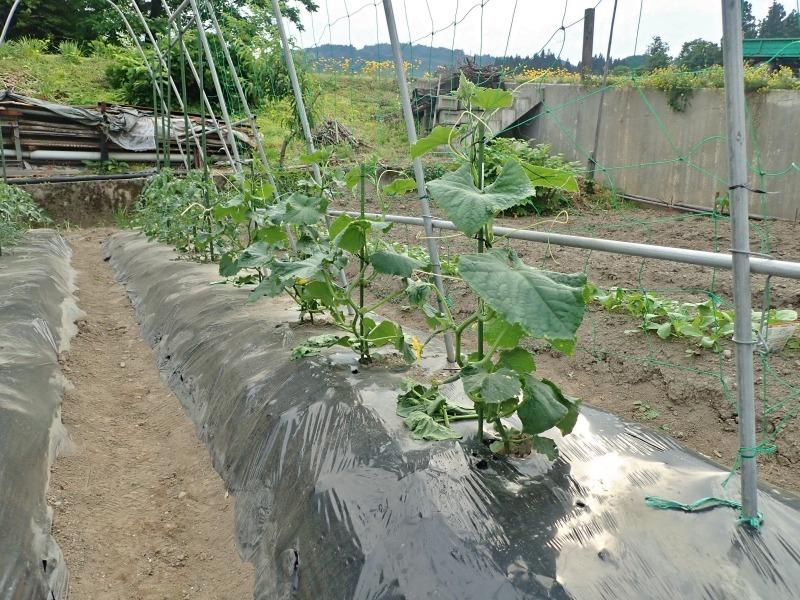 週末の兼業農家は「家庭菜園」のネット掛けなど・・・_c0336902_18140908.jpg