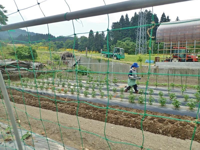 週末の兼業農家は「家庭菜園」のネット掛けなど・・・_c0336902_18141238.jpg