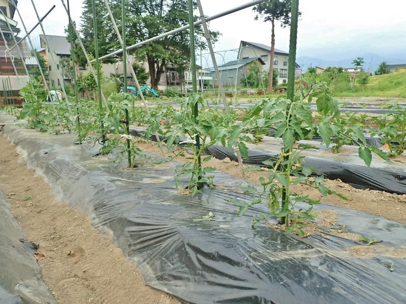 週末の兼業農家は「家庭菜園」のネット掛けなど・・・_c0336902_18141542.jpg