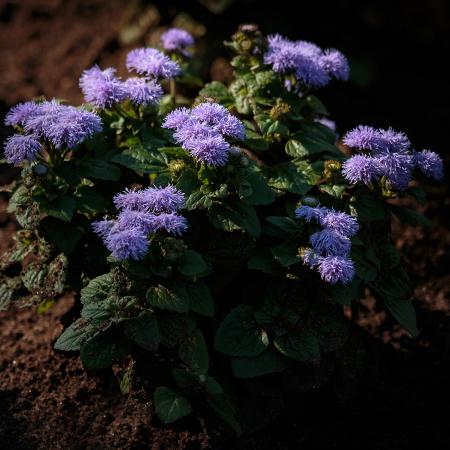 花のある風景 アゲラタム_b0133053_13454645.jpg