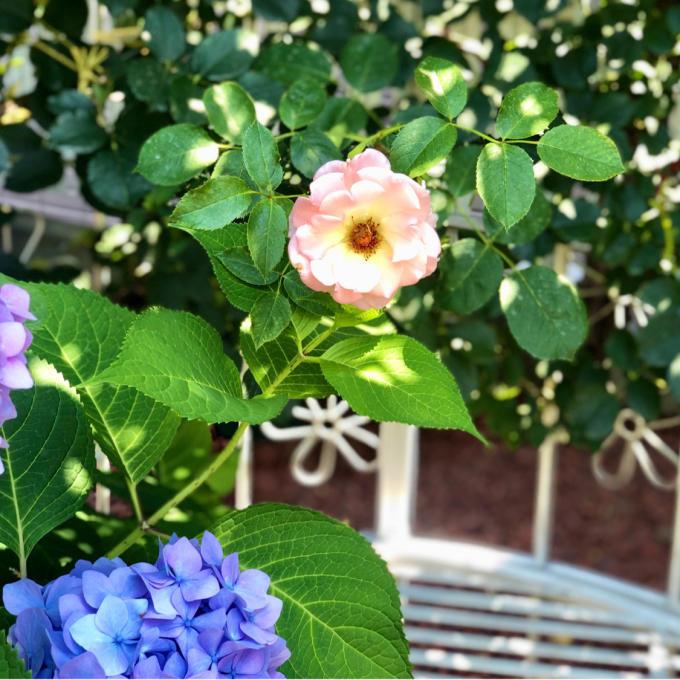 ホムセンにいた捨て猫(;_;)と、我が家の小花のバラの比較♡_a0396654_13432747.jpg