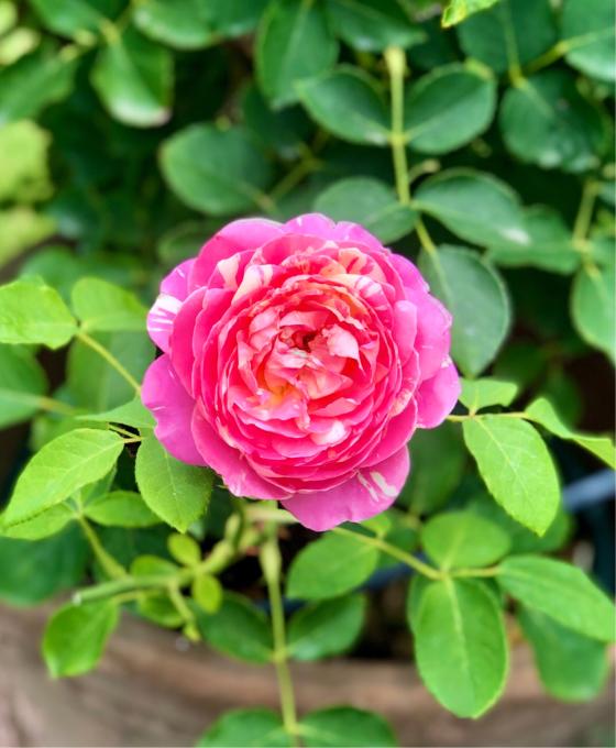 ホムセンにいた捨て猫(;_;)と、我が家の小花のバラの比較♡_a0396654_13443716.jpg