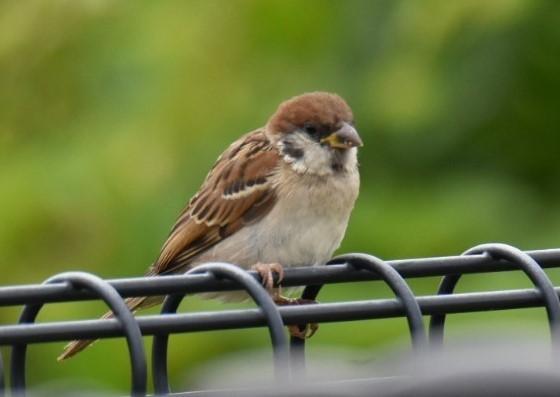 ★カイツブリの幼鳥が大きくなっています!先週末の鳥類園(2021.6.12~13)_e0046474_07315216.jpg