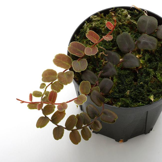 新掲載植物たちをさら~っとご紹介!!_d0376039_17444890.jpg