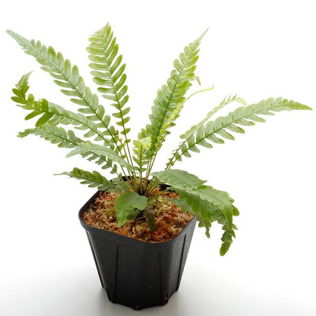 新掲載植物たちをさら~っとご紹介!!_d0376039_17513155.jpg