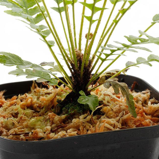 新掲載植物たちをさら~っとご紹介!!_d0376039_17590661.jpg
