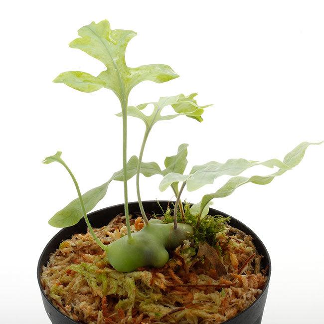 新掲載植物たちをさら~っとご紹介!!_d0376039_18014282.jpg