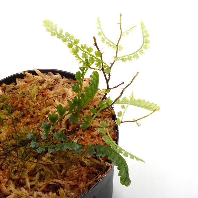 新掲載植物たちをさら~っとご紹介!!_d0376039_18064303.jpg