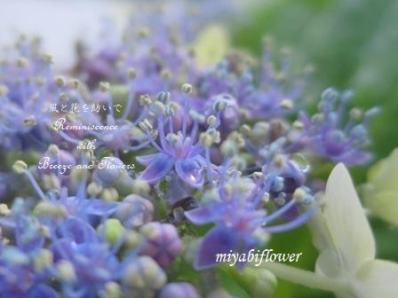 紫陽花ミステリー 続きはどうなるでしょう - 風と花を紡いで
