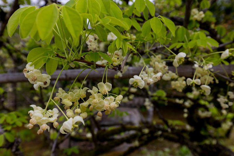 春の花咲く実光院_f0155048_23104951.jpg