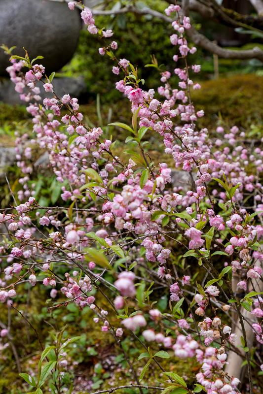 春の花咲く実光院_f0155048_23113706.jpg