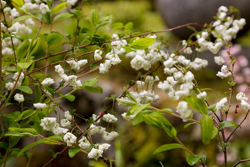 春の花咲く実光院_f0155048_23113989.jpg