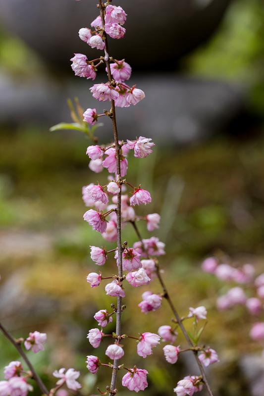 春の花咲く実光院_f0155048_23115042.jpg