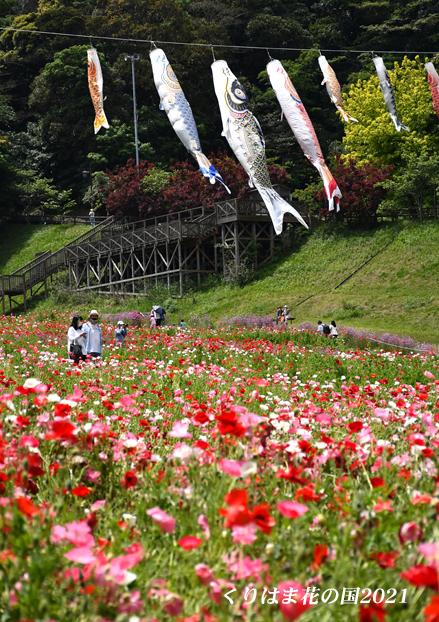 ポピーと鯉の共演 ⑪ 『くりはま花の国 2021』_d0251161_16221735.jpg
