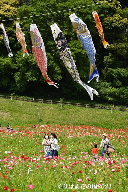 ポピーと鯉の共演 ⑪ 『くりはま花の国 2021』_d0251161_16234672.jpg
