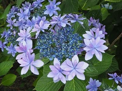 紫陽花 あれこれ_f0129726_18554767.jpg