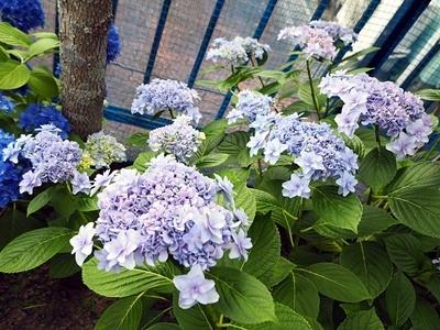 紫陽花 あれこれ_f0129726_18555352.jpg