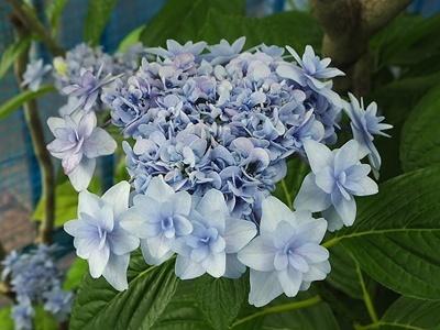 紫陽花 あれこれ_f0129726_18555641.jpg