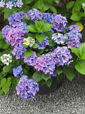 紫陽花 あれこれ_f0129726_18560178.jpg