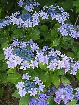 紫陽花 あれこれ_f0129726_19260053.jpg