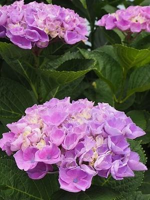 紫陽花 あれこれ_f0129726_19344159.jpg