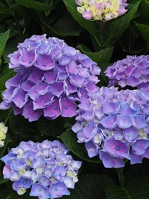 紫陽花 あれこれ_f0129726_19344696.jpg