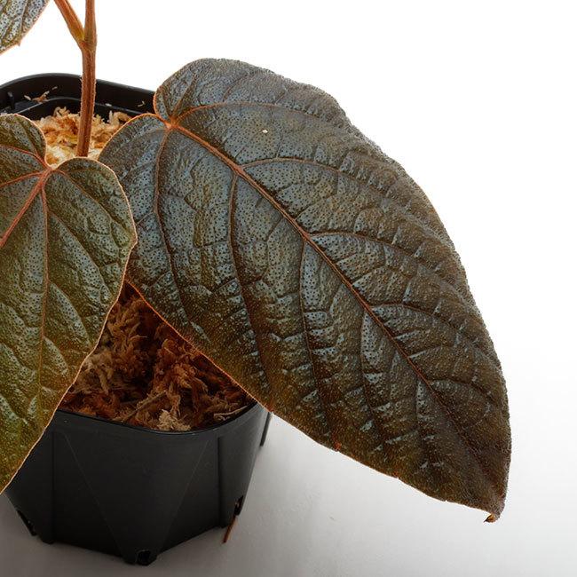 新掲載植物たちをさら~っとご紹介!!_d0376039_10294117.jpg