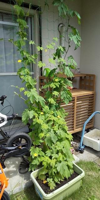 家庭菜園~_a0040879_10075366.jpg