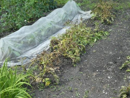 茄子収穫_c0108198_15055407.jpg