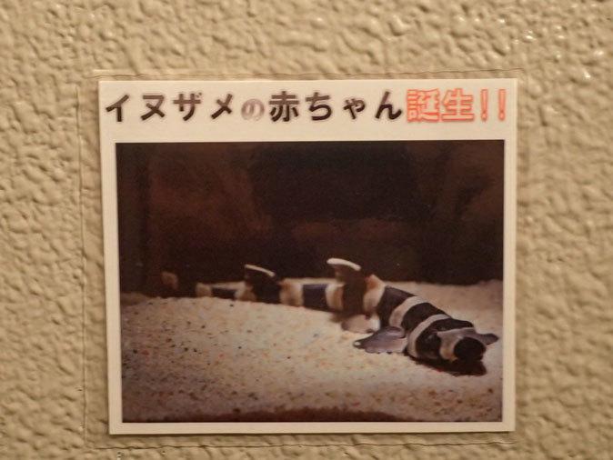 しながわ水族館「珍しい魚たち」④~シマシマ同盟!イヌザメの幼魚とシマウミヘビ(August 2020)_b0355317_14362838.jpg