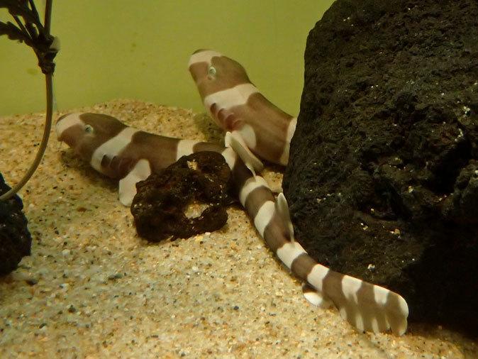 しながわ水族館「珍しい魚たち」④~シマシマ同盟!イヌザメの幼魚とシマウミヘビ(August 2020)_b0355317_14394646.jpg