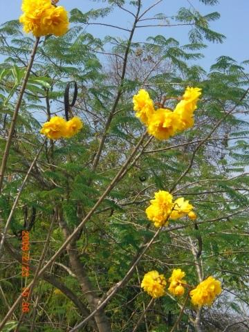 チェンマイの街や野を彩る花々とそのエピソード(第10回)_d0159325_21302439.jpg