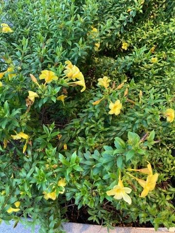 チェンマイの街や野を彩る花々とそのエピソード(第10回)_d0159325_21310957.jpg