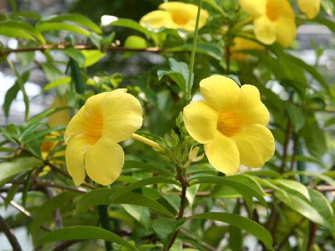 チェンマイの街や野を彩る花々とそのエピソード(第10回)_d0159325_22033496.jpg