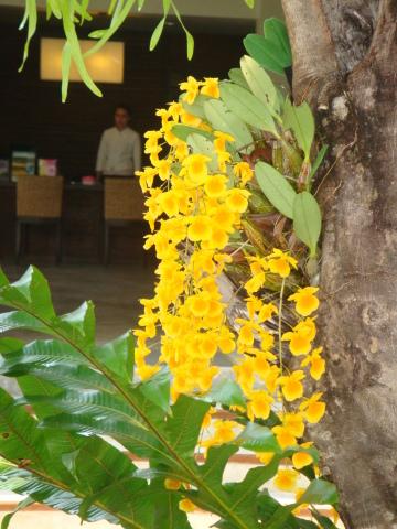 チェンマイの街や野を彩る花々とそのエピソード(第10回)_d0159325_22050755.jpg