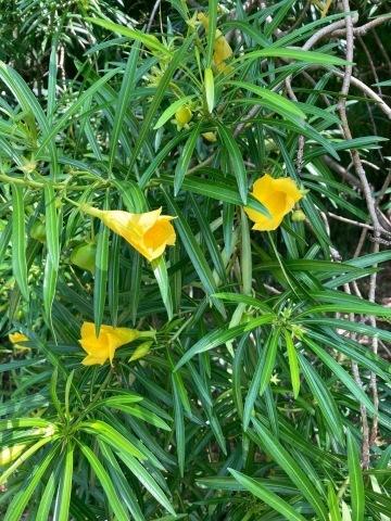 チェンマイの街や野を彩る花々とそのエピソード(第10回)_d0159325_22063026.jpg