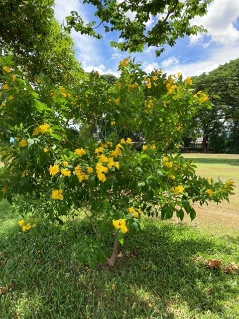 チェンマイの街や野を彩る花々とそのエピソード(第10回)_d0159325_22085073.jpg