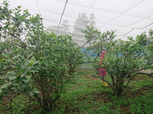雨の中でブルーベリー狩り_f0323446_22350617.jpg