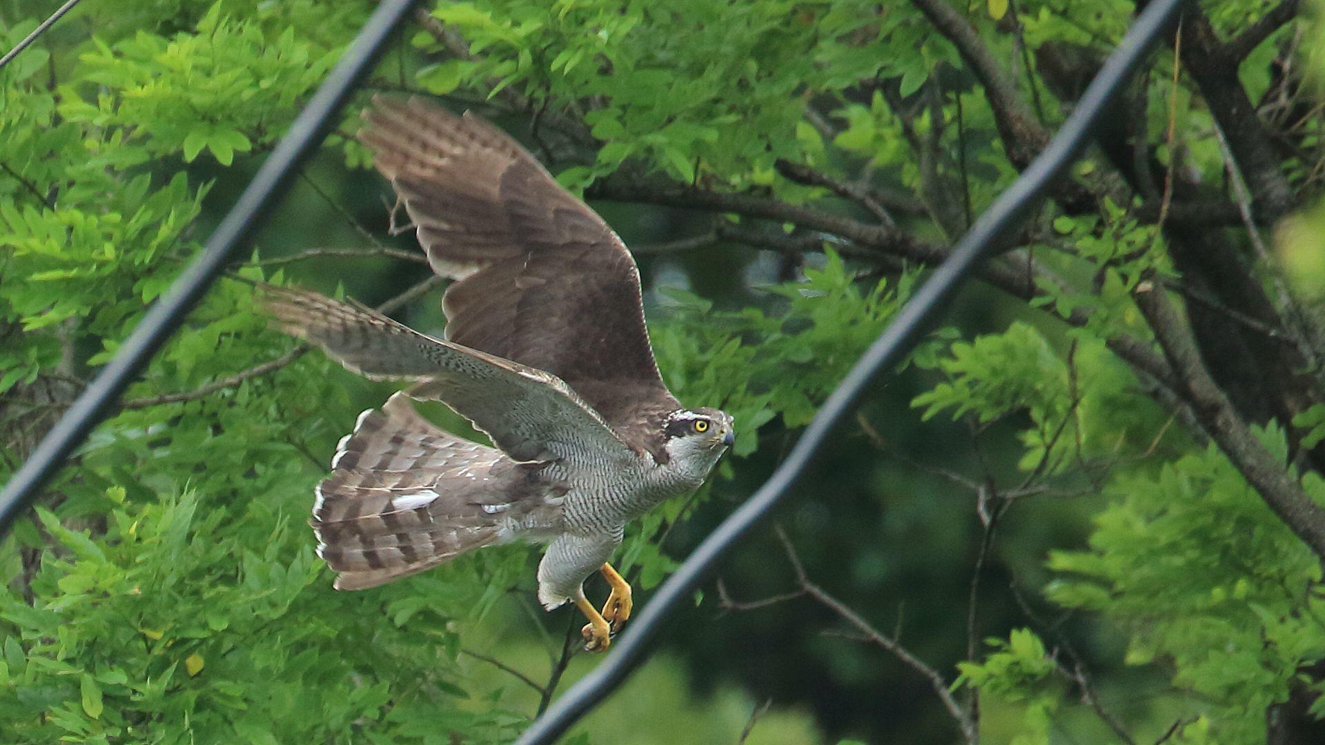 電線の間から都会のオオタカの飛翔を撮影_f0105570_09444224.jpg