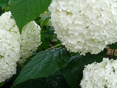 雨似合う古典植物と山野草展_f0203094_10105272.jpg
