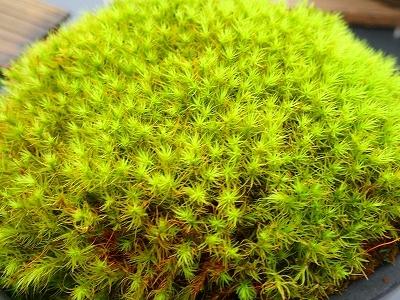 雨似合う古典植物と山野草展_f0203094_10254261.jpg
