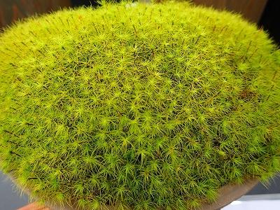 雨似合う古典植物と山野草展_f0203094_10263064.jpg